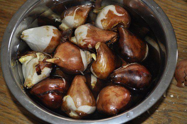 Обеззараживание луковиц тюльпанов