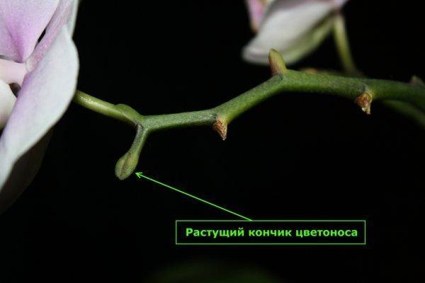 Отцветающая орхидея