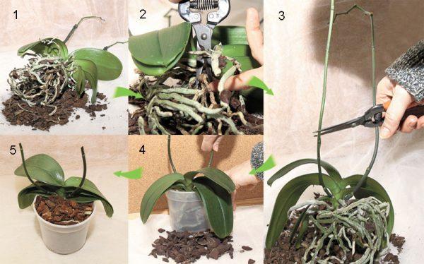 Процесс пересадки фаленопсиса