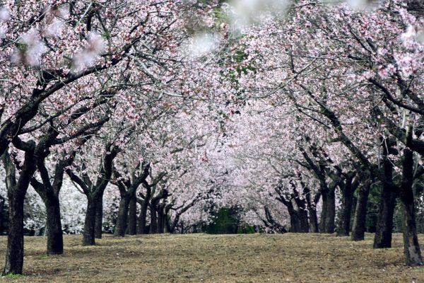 Цветущие миндальные деревья