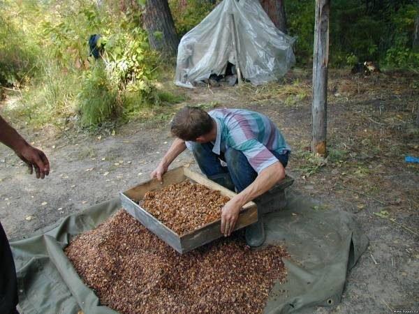 Просеивание кедрового ореха