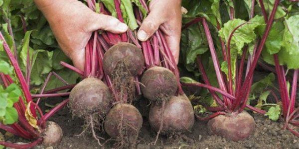 Сбор урожая свёклы