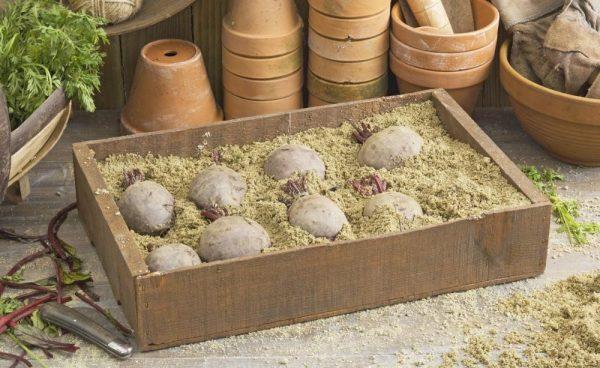 Свёкла в ящике с песком