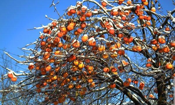 дерево хурмы