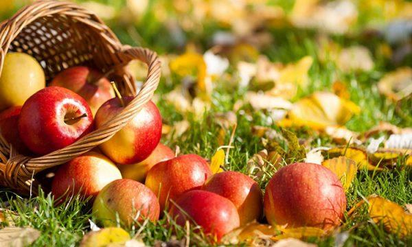 Спелые яблоки