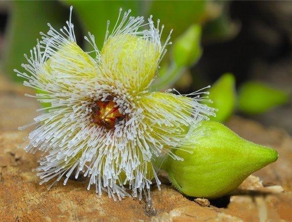 Стапелия железистоцветковая
