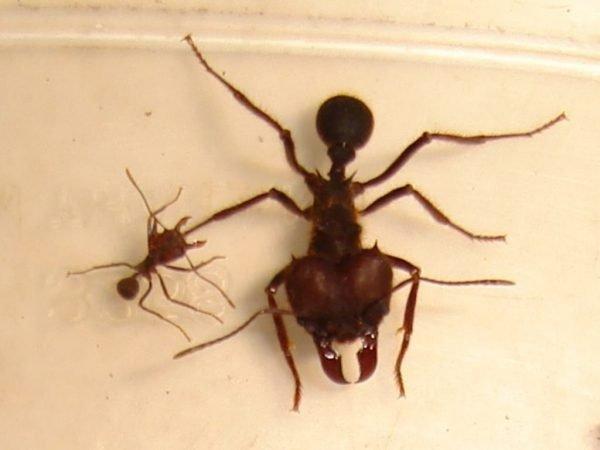 Матка и рабочий муравей вида атта