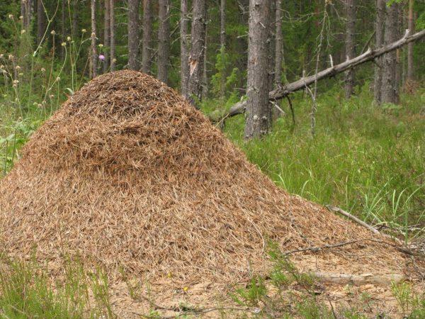 Большой муравейник в лесу