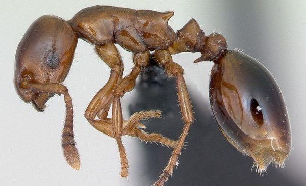 Муравей Formicoxenus Nitidulus