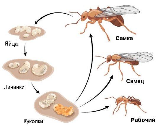 Жизненный цикл муравья