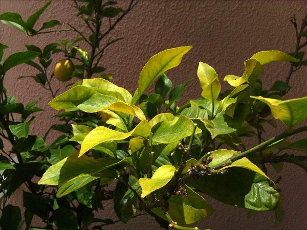 Лимон, поражённый хлорозом