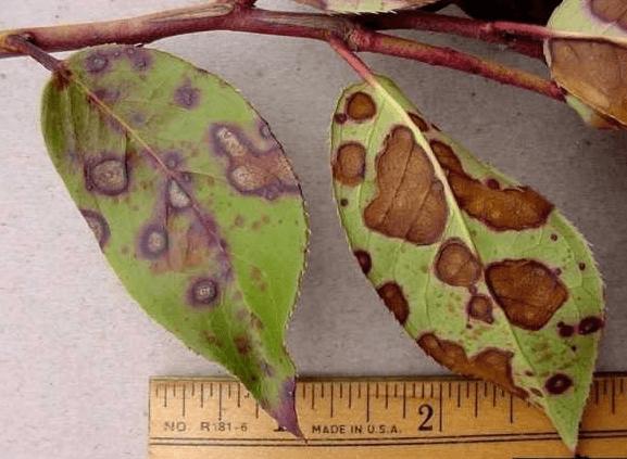 Лист растения, поражённый филлостиктозом