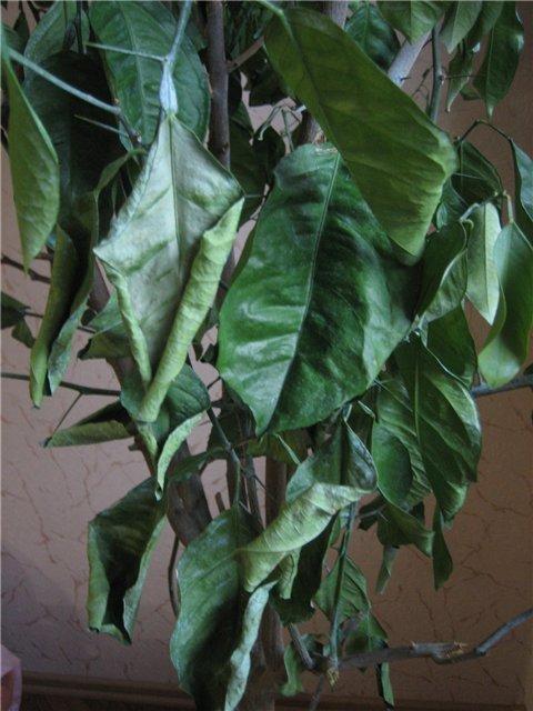 Свёрнутые листья лимона