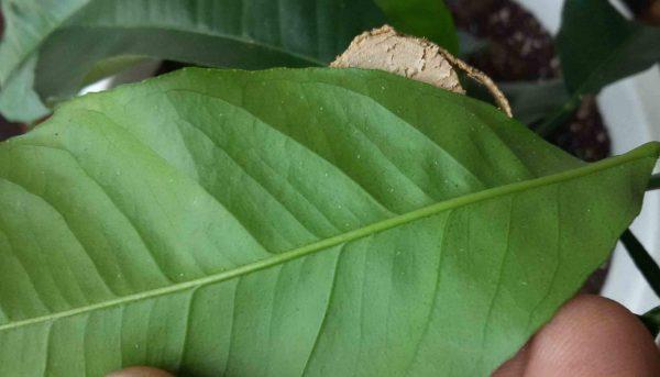 Следы паутинного клеща на листе растения
