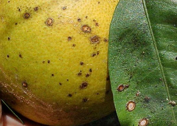 Антракноз лимона