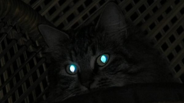 У кошки светятся глаза в темноте