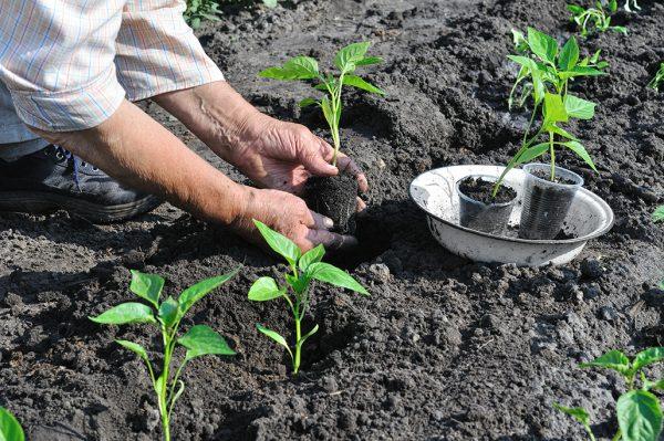 Пересаживаем рассаду перцев в лунки