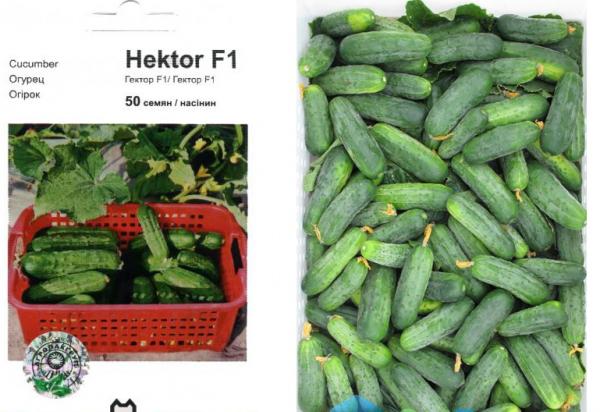 Семена и плоды огурцов Гектор