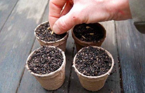 Посев семян огурцов в торфяные стаканы