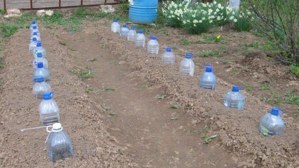 Грядка с растениями, укрытыми бутылками