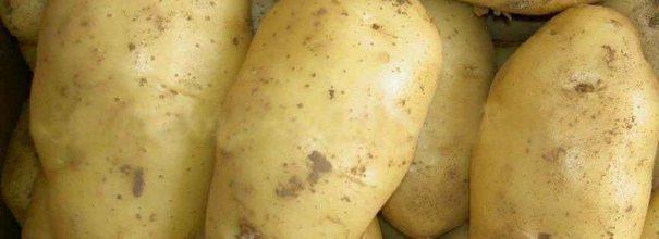 Картофель сорта Лорх