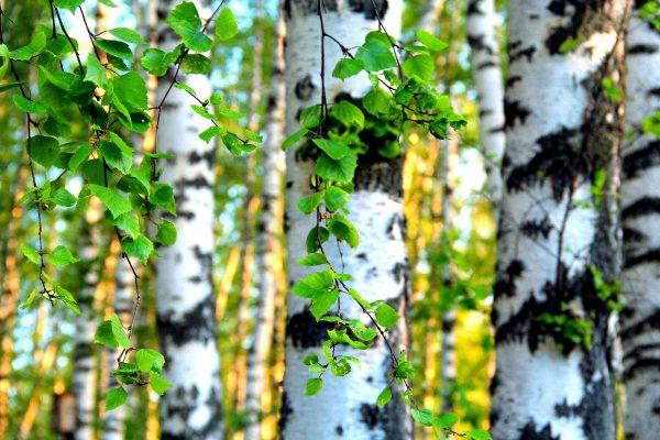 На березе появились листья
