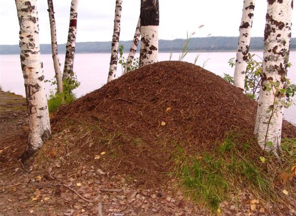 Большой муравейник в окружении берёз