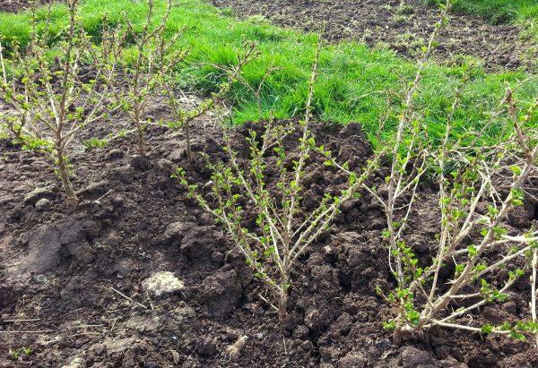 Кусты крыжовника с прорыхлённой почвой вокруг
