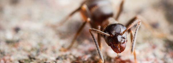 муравьиная матка