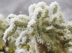 кактус под снегом