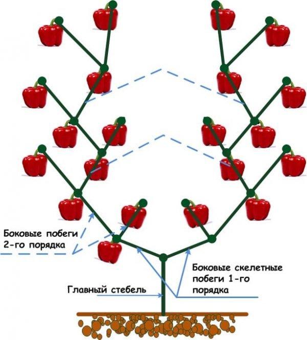 Схема куста перца