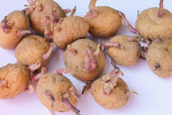 Подвяленный картофель