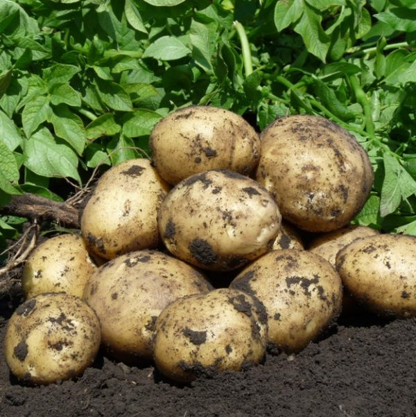 Клубни картофеля на грядке