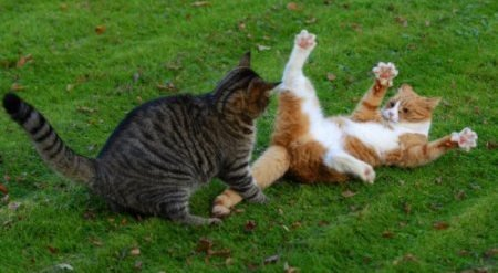 Дерущиеся коты