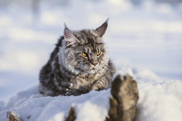 Мейн-кун в снегу