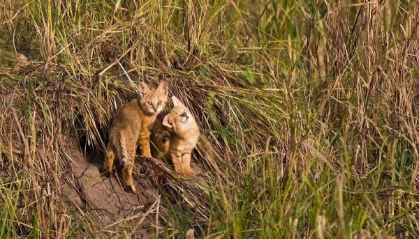Выводок камышовых котят возле норы
