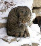 Окрас камышового кота