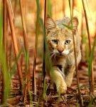 Камышовый кот в зарослях тростника