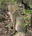 Камышовый кот в кустарнике