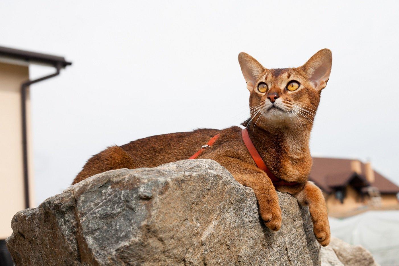 Уход за абиссинскими кошками - Питомник абиссинских и ориентальных кошек в Москве Очаровашка