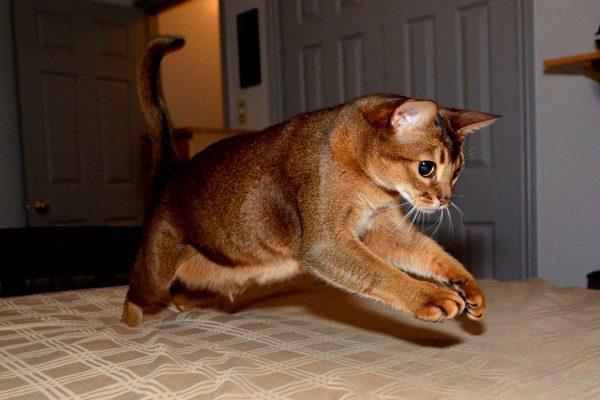 Абиссинская кошка в прыжке