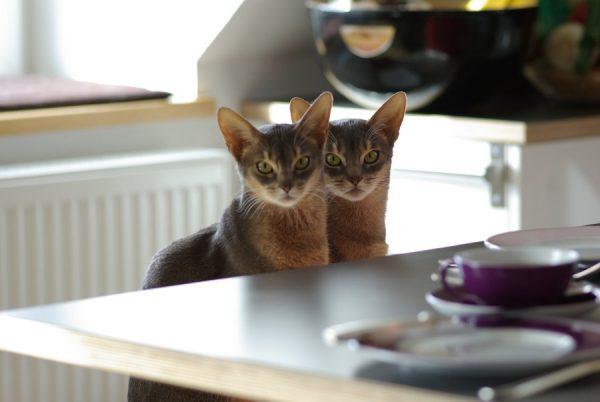 Абиссинские кошки сидят за столом
