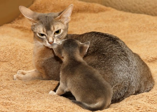 Серая абиссинка с котёнком