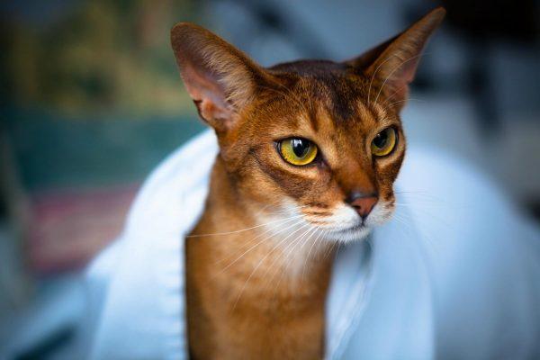 Абиссинский кот в белом полотенце