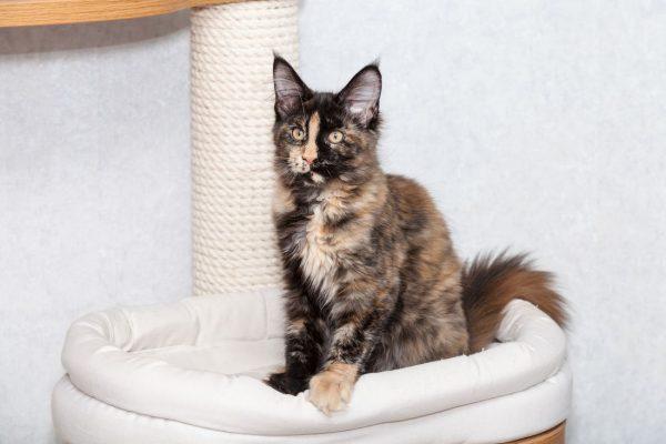 Котёнок мейн-куна на лежанке