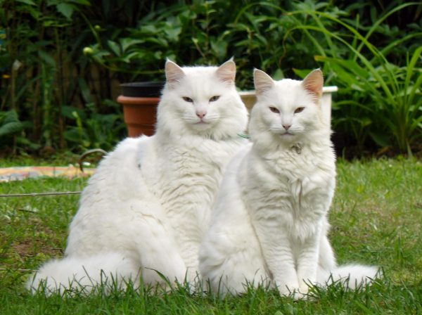 Два белых мейн-куна