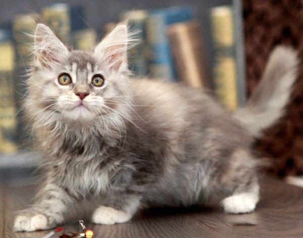 Котёнок мейн-куна для разведения
