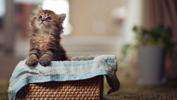 Котёнок мейн-куна в коробке