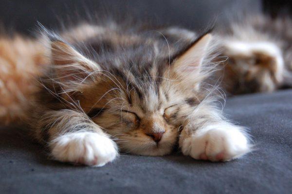Спящий котёнок мейн-куна