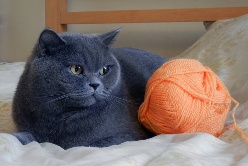 Британская короткошерстная кошка: фото, характер, описание породы | 537x800